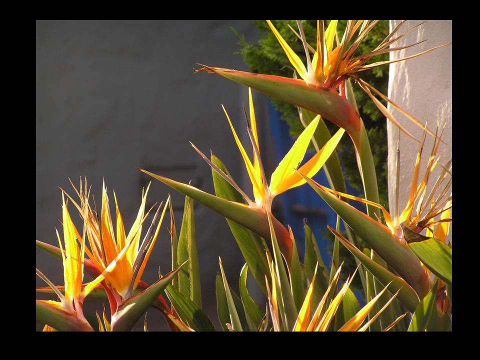 Birds Of Paradise in the Sunset, photo by Michele Szekely