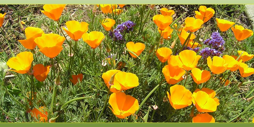 Les coquelicots de California (golden poppies) photo by Michele Szekely