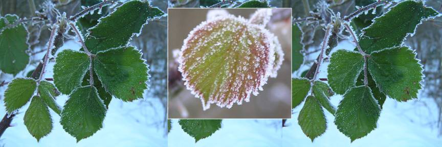 Frosted Leaves photo by Michele Szek